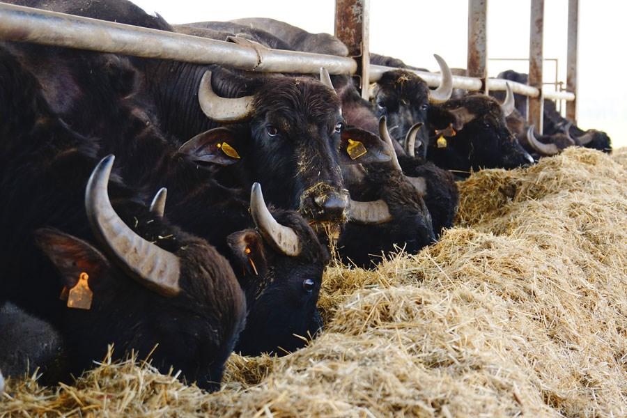 Mozzarelle di Battipaglia - Allevamento Bufale